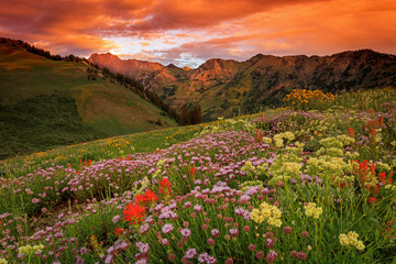 Wall Mural - Summer wildflowers in the Utah mountains, USA.