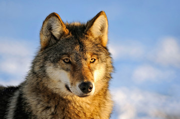 Close Up Photo Of A Wolf (Canis lupus)