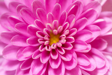 Foto op Canvas Macrofotografie Soft focus Chrysanthemum flower center, pink and purple, super macro closeup texture and pattern, petals showing and center and many water droplets
