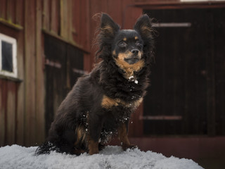 A minature dog sitting on snow
