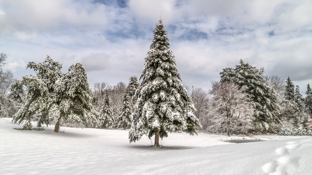 Wintery Landscape Scene / HDR image showing several nice pine, balsam and spruce tree on a snow covered landscape. Taken right after a snow storm covered Maine in a blanket of white.