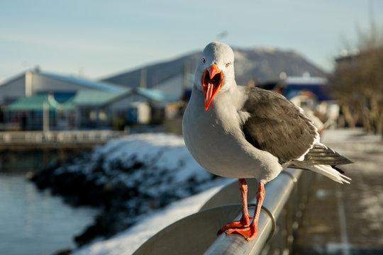 Seagull in Ushuaia, Tierra del Fuego Argentina