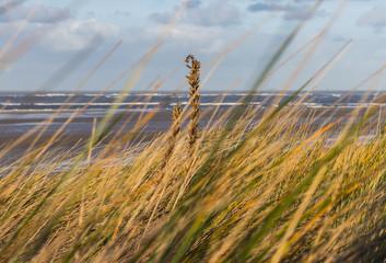 Strandhafer auf einer Düne