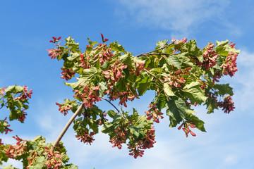 Branch of Acer ginnala