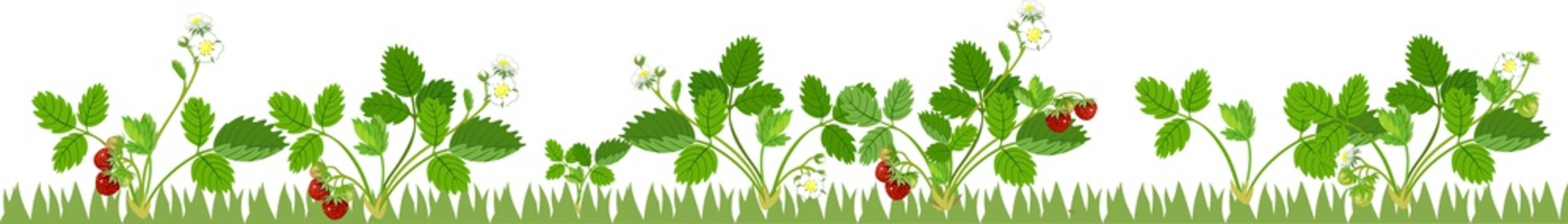Vegetable patch with fruiting and flowering strawberry plants on white background