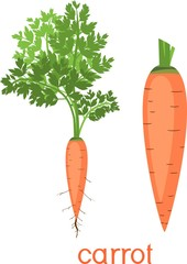 Orange carrot with green tops and title on white background