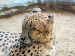 Portrait of a leopard preparing to sleep,