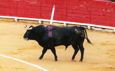 Foto op Aluminium Stierenvechten A large Spanish bull fighting. Spanish bullfight.