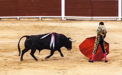 Spanish bullfight. .The enraged bull attacks the bullfighter. Corrida de toros.