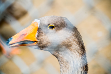 brown Domestic Goose behind the fence