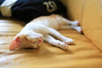 small cat sleeping, catnap