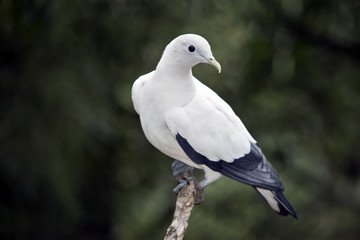 pied imperial pigeon