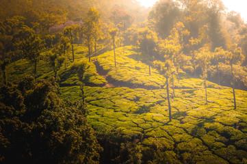 Coonoor, green field, tea plantation. Nilgiri mountain railway India Munnar