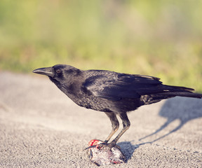Crow eating a fish