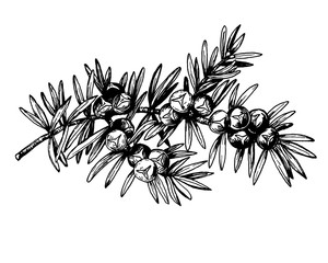 Graphic the branch of Juniper plant (Juniperus communis) with berries and leaves. Fresh juniper fruits. Black and white outline illustration hand drawn painting. Isolated on white background.
