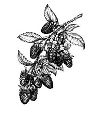 Graphic the branch of ripe boysenberry (Tayberry, hybrid between raspberry and blackberry) with berries, flowers and leaves. Black and white outline illustration, isolated on white background.