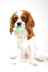 Cavalier king charles spaniel sport dog badminton photo. Beautiful cute cavalier puppy dog on isolated white studio background. Trained pet photos for every concept.