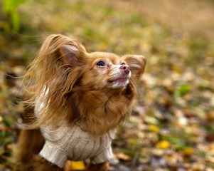 Old dog  breed collie chihuahua with gray muzzle  dressed in a white knitted sweater in autumn park