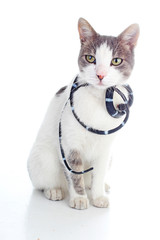 Cat with snake. Domestic cat on isolated white studio background. Silver and grey and white pattern. Cat colors. Cute.