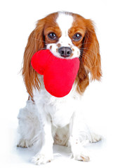 Dog love. Red heart with dog. Cavalier king charles spaniel dog photo. Beautiful cute cavalier puppy dog on isolated white studio background. Trained pet photos for every concept.