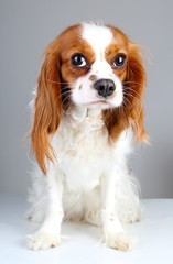 Scared dog. Cute abandoned scared guilty face cavalier king charles spaniel dog pet animal photo. Scared dog puppy on white isolated studio background.
