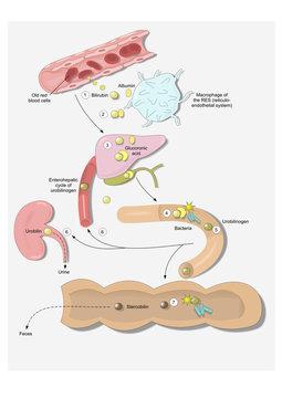 cycle of bilirubin