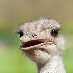 Ostrich portrait with open mouth close-up. Sharpen on eyes. Shot made in reservation Askania Nova, Ukraine