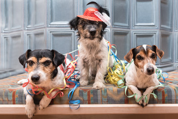 Party Dogs - Jack Russell Terrier - cute cute dogs that do not miss any event, like New Year's Eve, Carnival