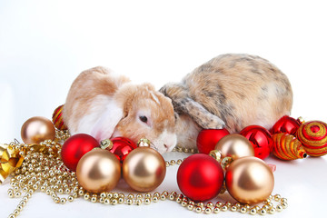 Christmas animals. Rabbit pet lop dwarf dutch wo colored orange bunny rabbits celebrate christmas with red gold christmas bauble ornaments on isolated white studio background. Cute animals. Pets