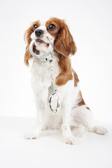 Dog with handcuffs. Cavalier king charles spaniel dog photo. Beautiful cute cavalier puppy dog on isolated white studio background. Trained pet photos for every concept. Police dog.