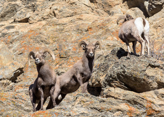 Colorado Rocky Mountain Bighorn Sheep - Band of Young Rams