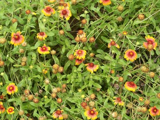 Orange red and yellow Blanket Flowers
