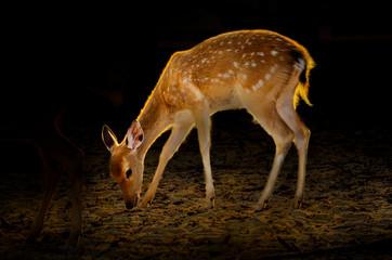 Baby Deer on dark background Golden deer beside Golden light on the body