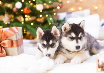 Animals. Two puppy Husky, gift box, Christmas tree, close up