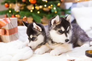 Animals. Two puppy Husky, gift box, Christmas tree, close up