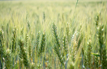 Wheat spikes on the field in summer