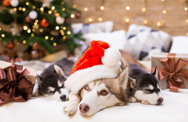 Animals. Three dogs Husky, gift box, Christmas tree, Santa Claus hat