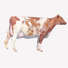 Vector illustration of a watercolor cow. Cow isolated on white background. Aishirian breed of cows