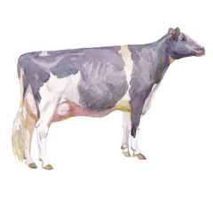 Vector illustration of a watercolor cow. Cow isolated on white background. Holstein breed of cows