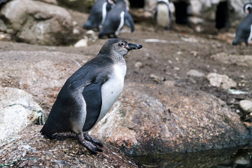 Humboldt penguin (Spheniscus humboldti) also known as Chilean penguin, Peruvian penguin, or patranca