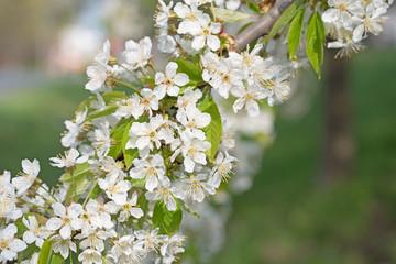 Kirschblüten, Süßkirsche, Prunus avium
