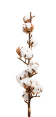 branch with cotton isolated