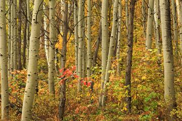 Garden Poster Birch Grove Fall colors in an aspen glade, Utah, USA.