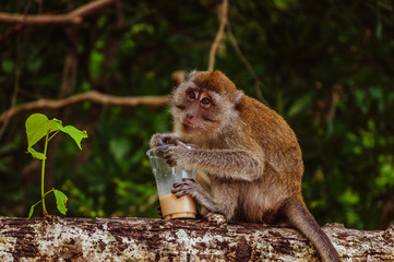 Small monkey drinking coffee from the plastic cup stolen from tourists