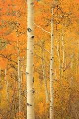 Golden aspens in the Wasatch Mountains, Utah, USA.