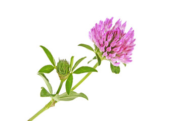 Clover flower with green leaves, isolated on a white background