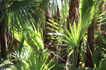 Fan Palm tree leaves with sun glow