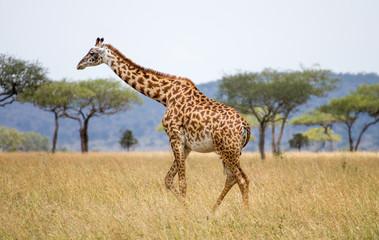 Giraffen Serengeti