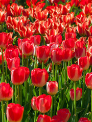 Tulip field blossom on a spring sunny day, red