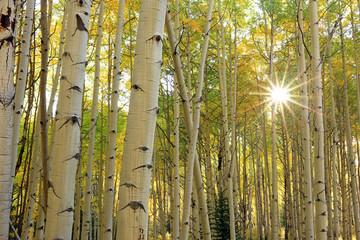 Yellow aspen fall splendor, Utah, USA.